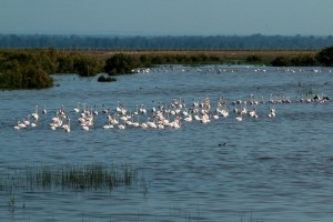 Group of flamingos at Caño Guadiamar