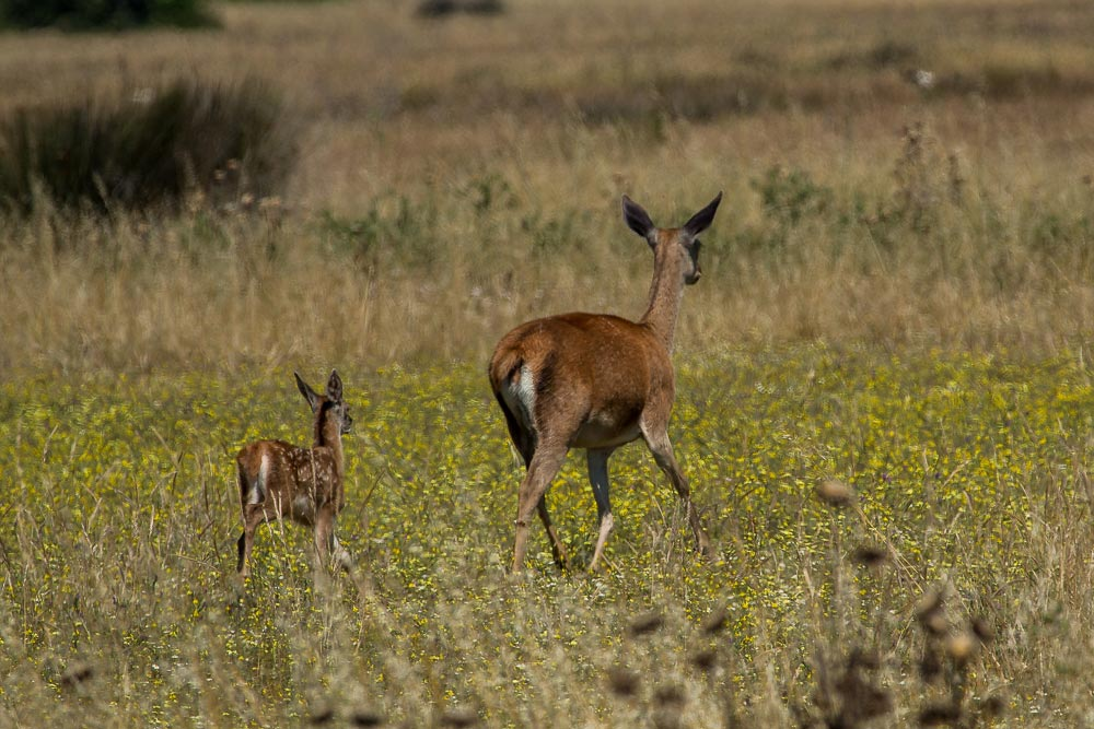female red deer and fawn
