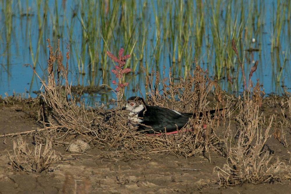 Black-winged stilt on its nest