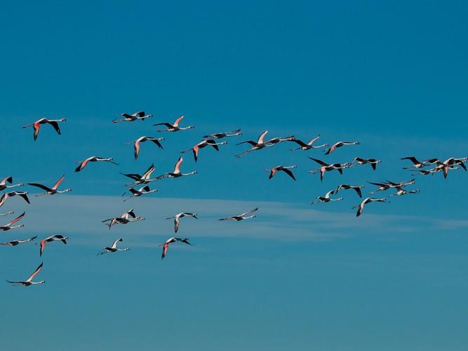 Grupo de flamencos en vuelo