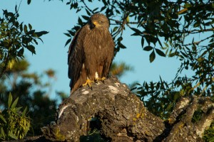 Black kite perched on a cork oak tree
