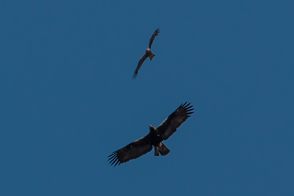 Spanish imperial eagle and black kite in flight