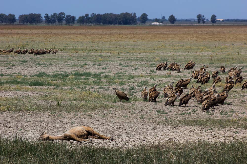 Group of vultures next to a dead mare