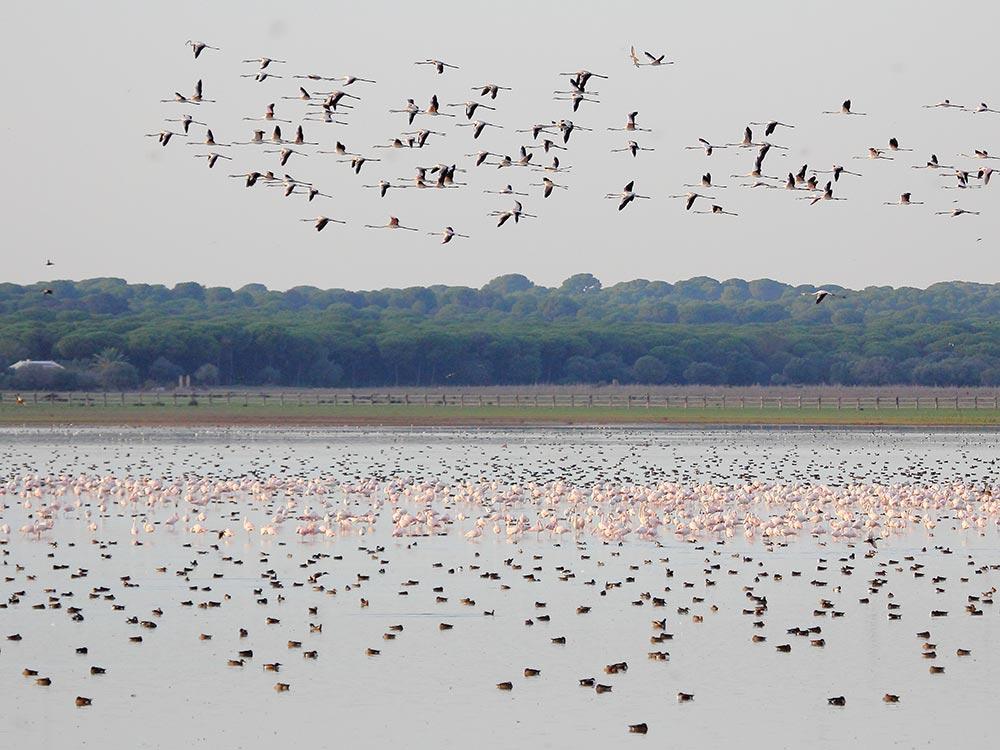 Flocks of flamingos at Dehesa de Abajo