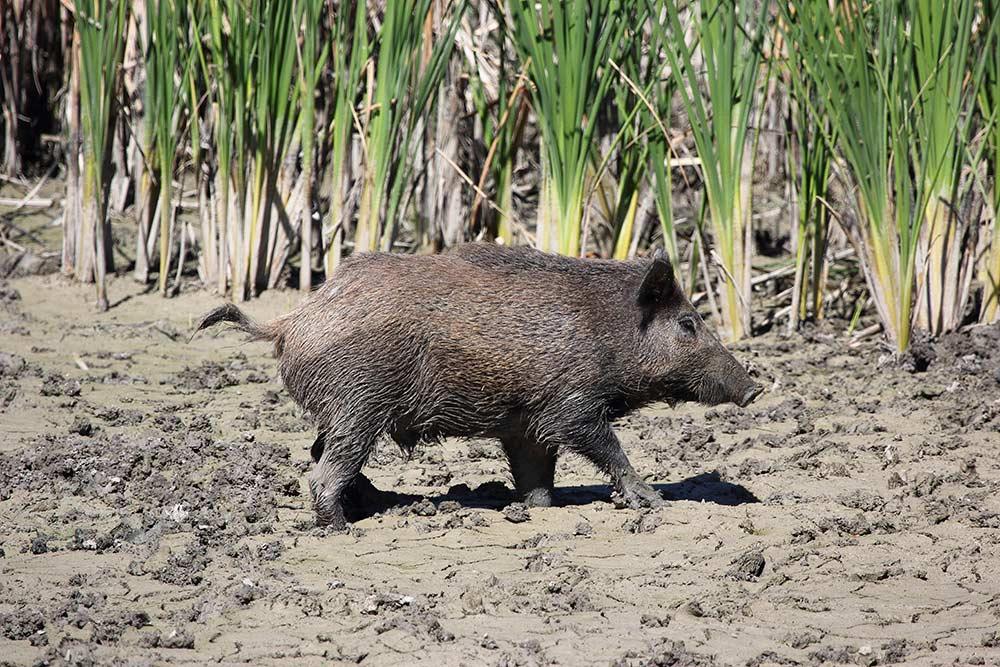Wild boar walking on wet grounds