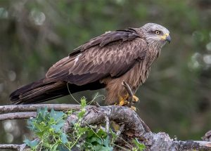 Young black kite
