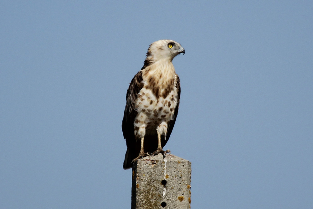 Short-toed snake eagle perched on a pole