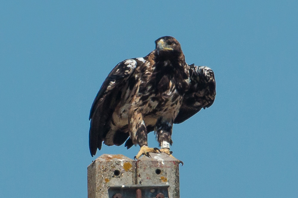 A subadult Spanish imperial eagle perched on a pole