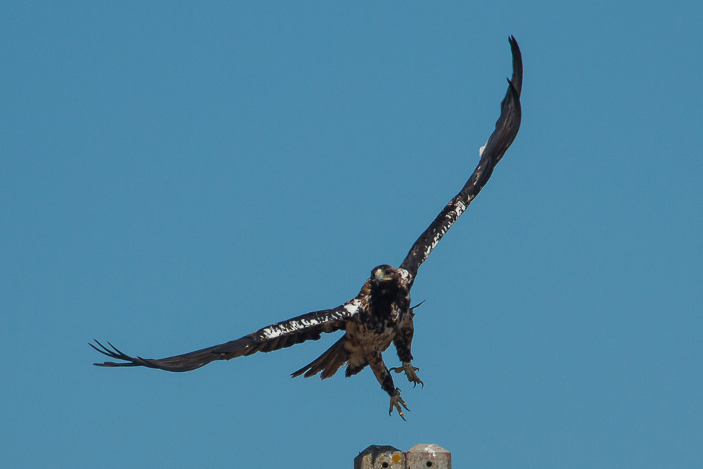 A subadult Spanish imperial eagle taking off