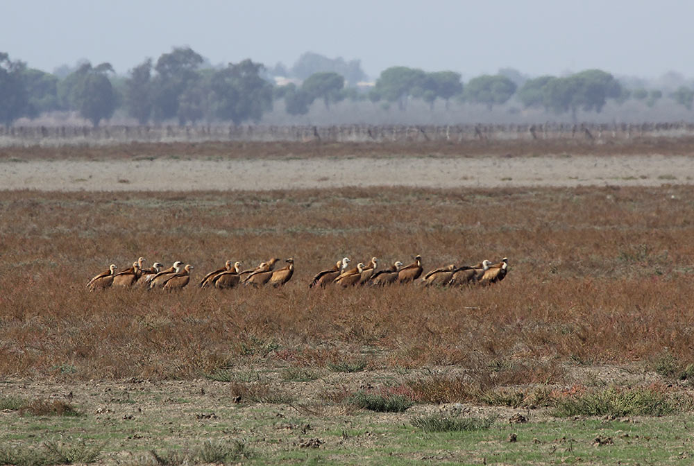 Group of vultures in the dry marshes