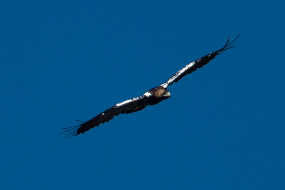 Spanish imperial eagle in flight