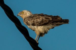 Short-toed snake eagle perched on a cable