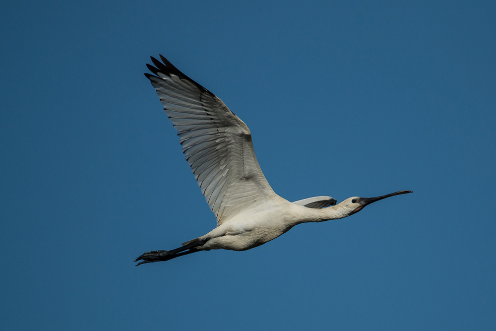 Young spoonbill in flight