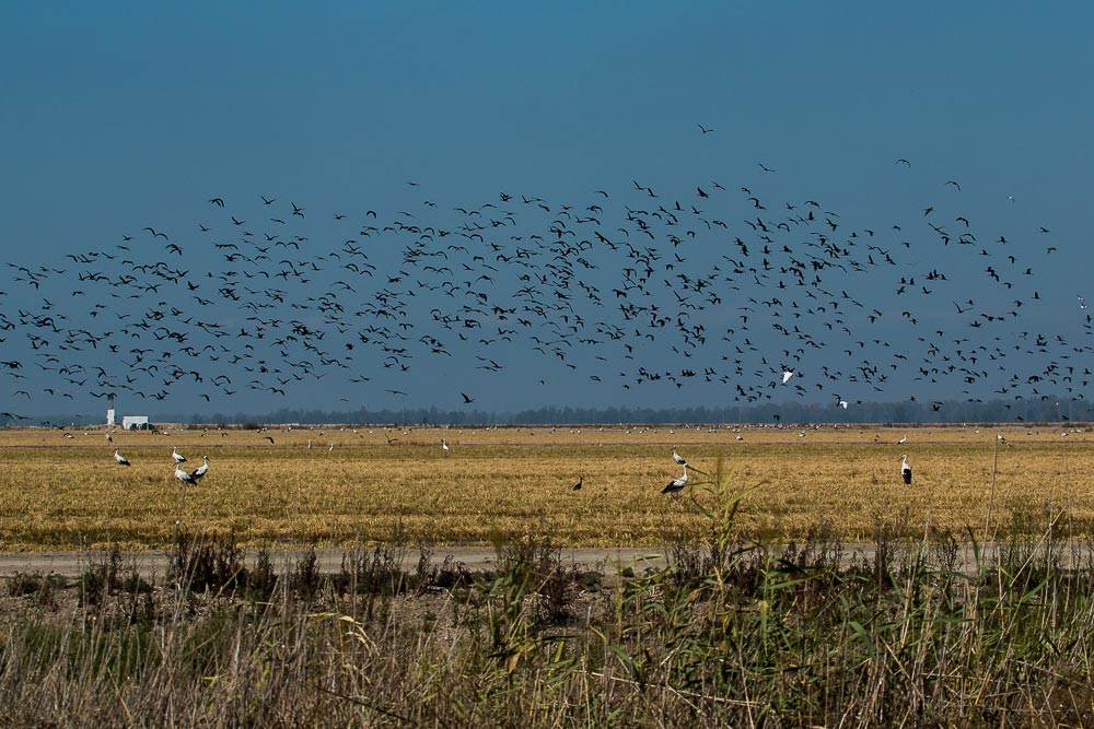 Flock of glossy ibis flying over a harvested rice field