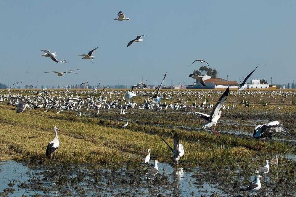 Campo de arroz recién cosechado con miles de cigüeñas y gaviotas