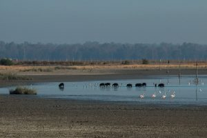 Groups of wild boar and flamingos at Caño Guadiamar