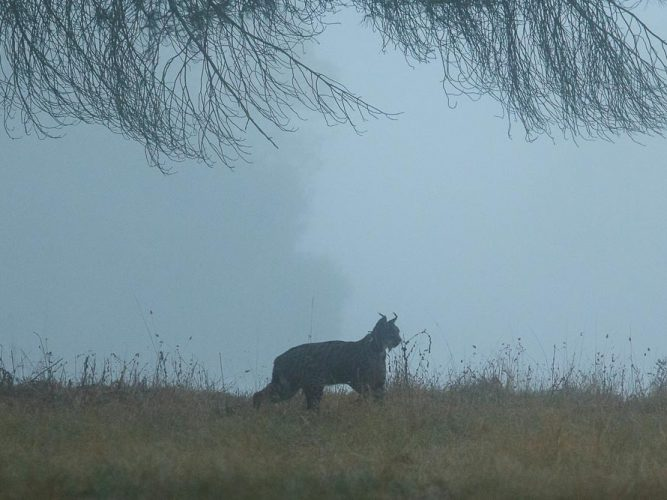 Iberian lynx in the mist