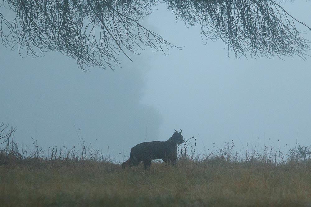 Lince en la niebla