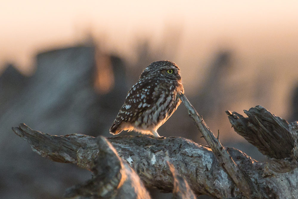 Little owl at sunrise