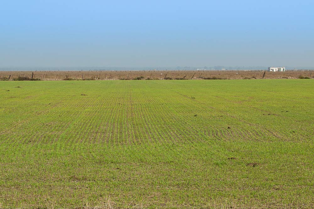 Cereal field with just germinated crop