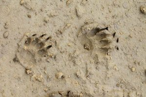 Badger prints on wet mud