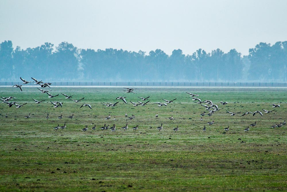 Group of geese feeding in the marshes