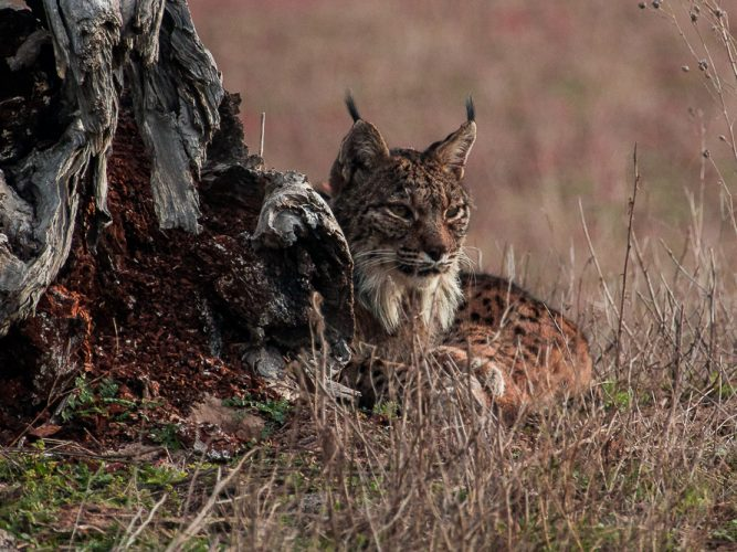 Lynx lying down