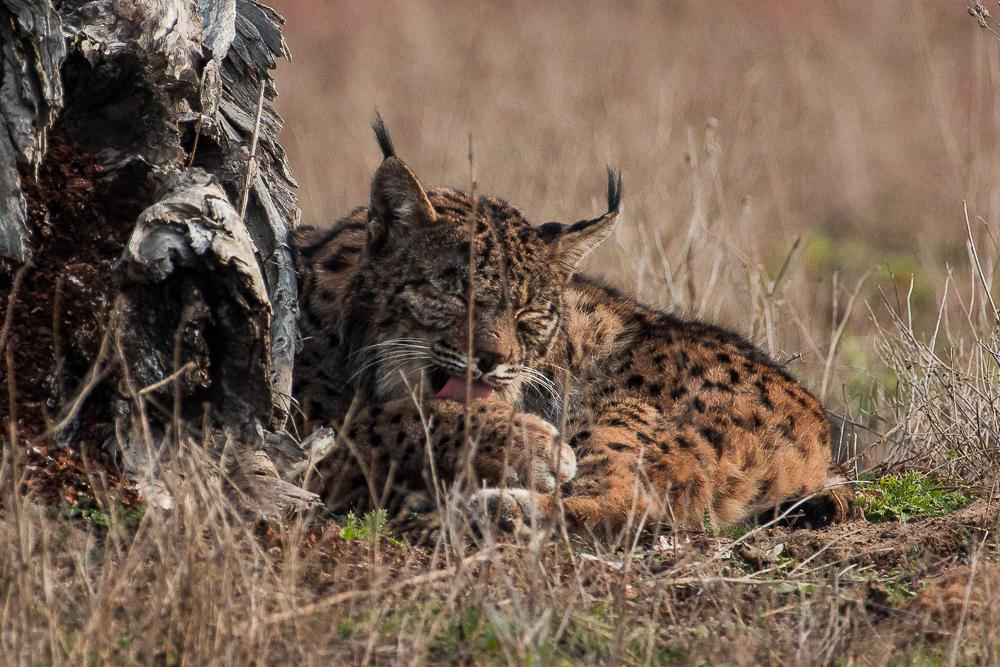 Lynx washing itself