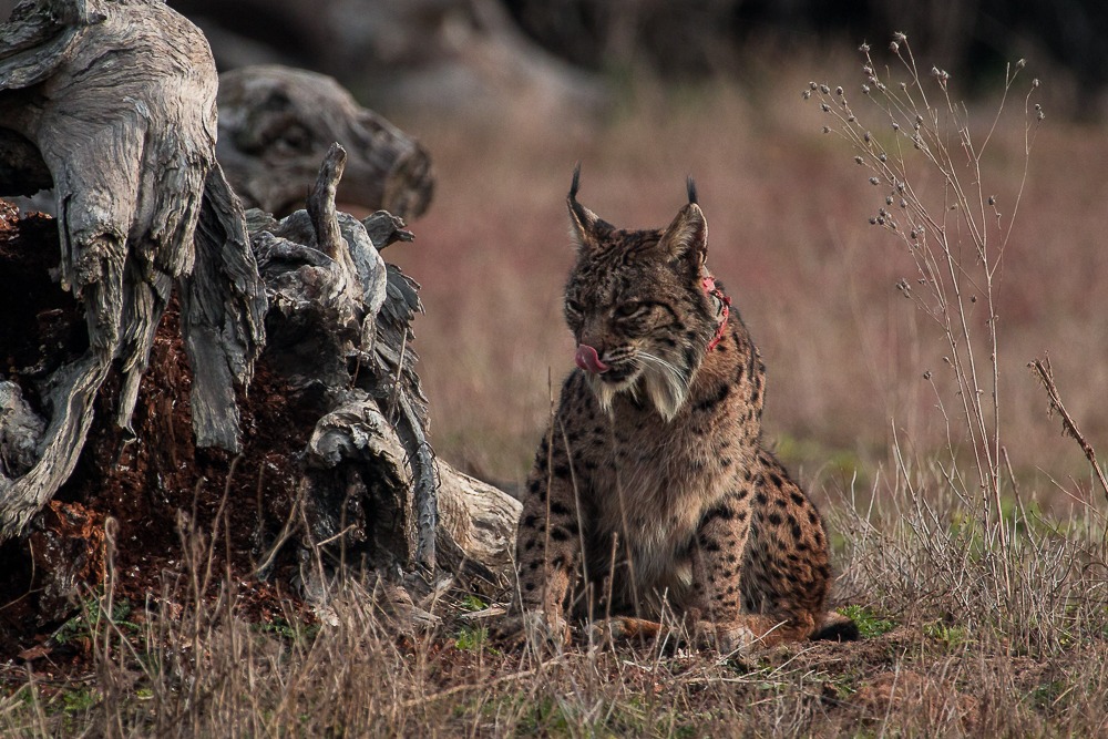 Iberian lynx seating