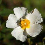 Flor de jara blanca