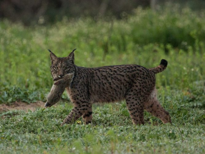 Iberian lynx carrying a rabbit in its mouth