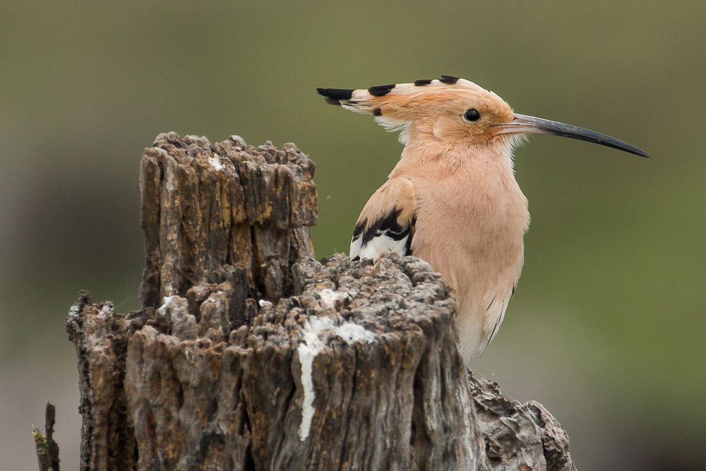 Hoopoe on a tree trunck