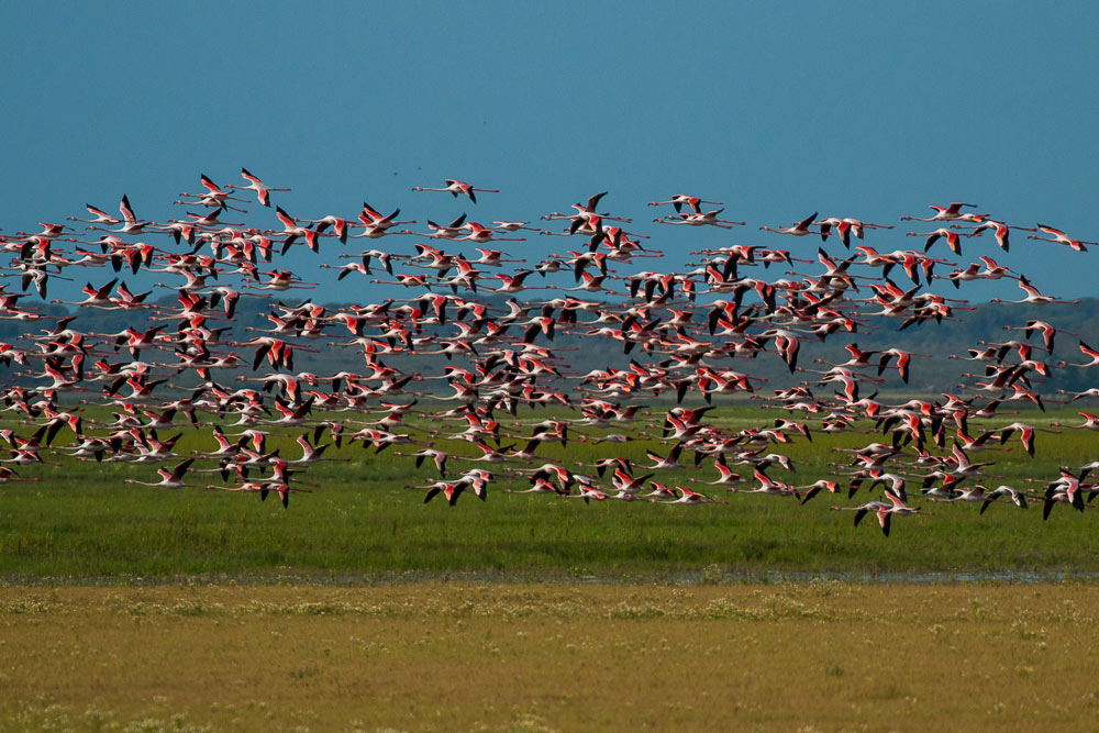 Flock of flamingos in flight