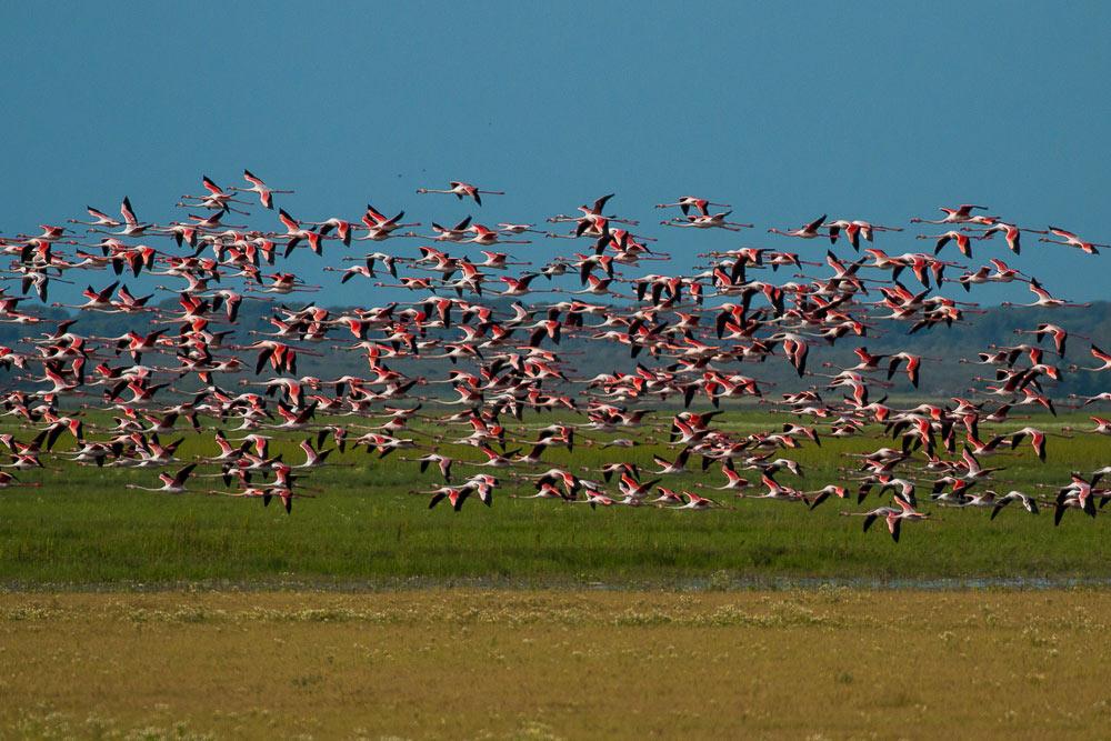 Flock of flamingos in flight