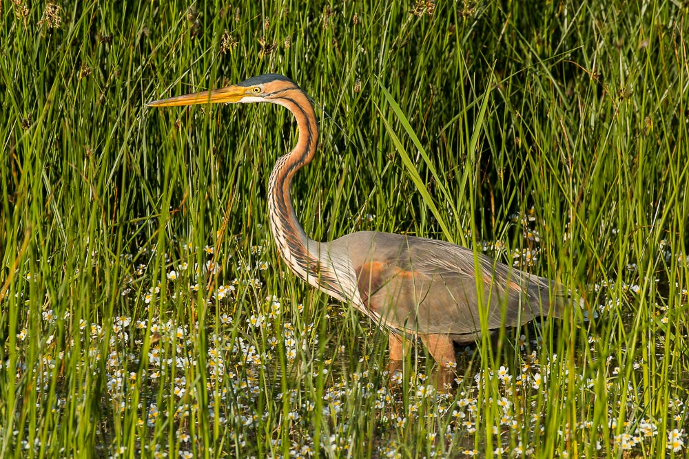 Purple heron among reeds and flowers