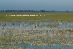 Flooded marshes with flamingos and stilts