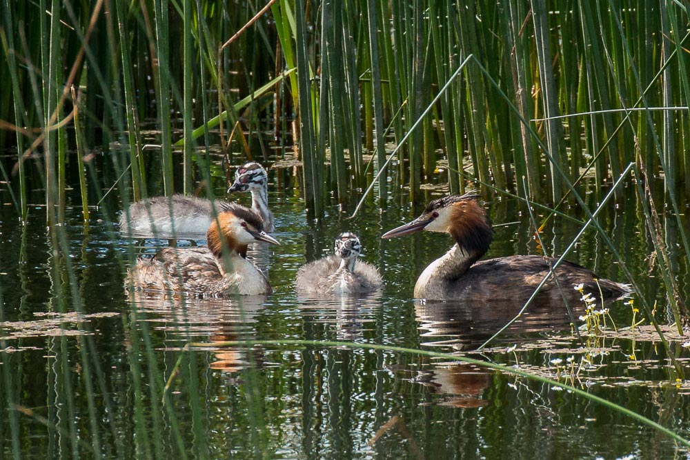 Great-crested grebes with grown up chicks