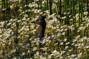 Black-necked grebe among flowers