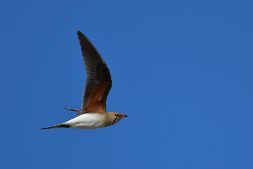 Collared pratincole in flight