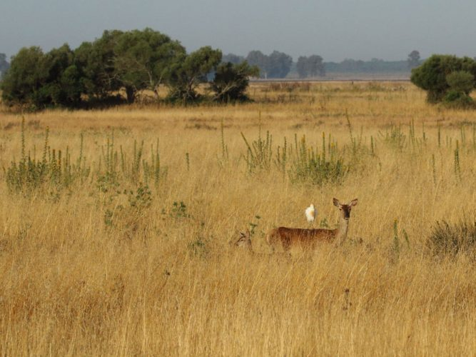 Female red deer with fawn in the high dry grasses