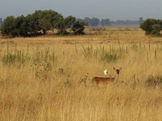 Ciervo en el herbazal seco con una garbilla posada encima