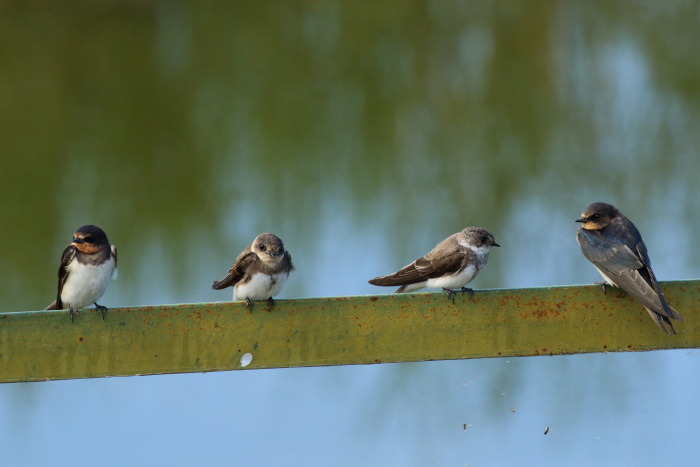 Barn swallow and sand martin chicks