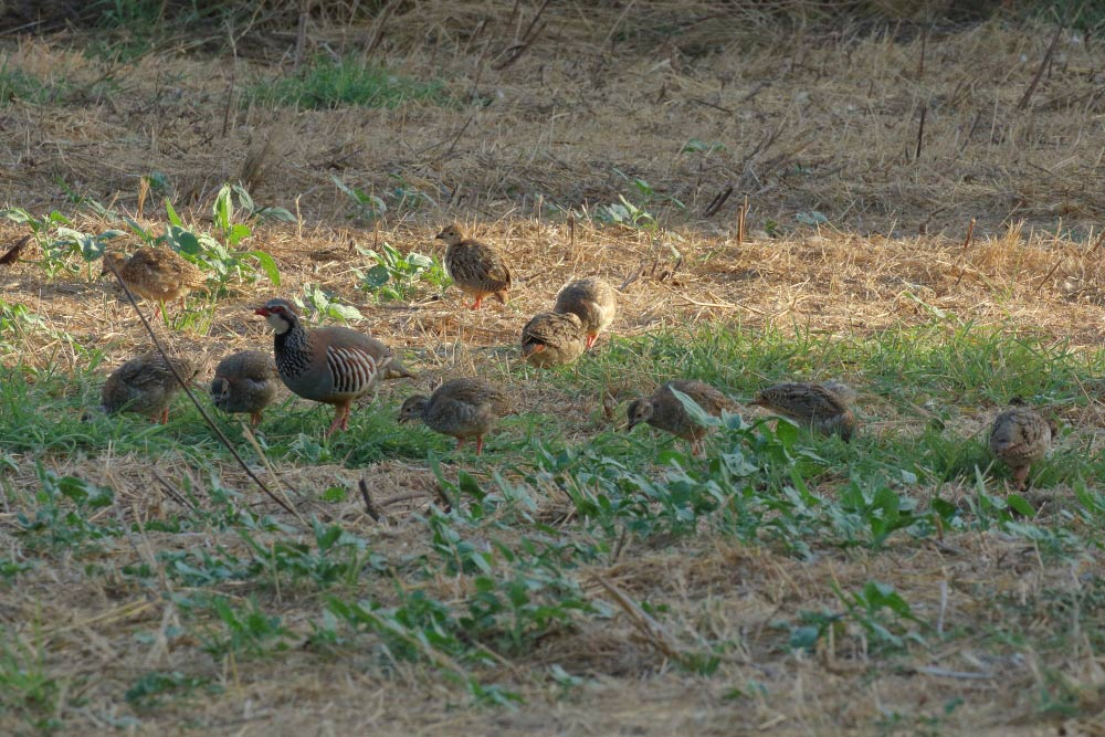 Family of red-legged partridges