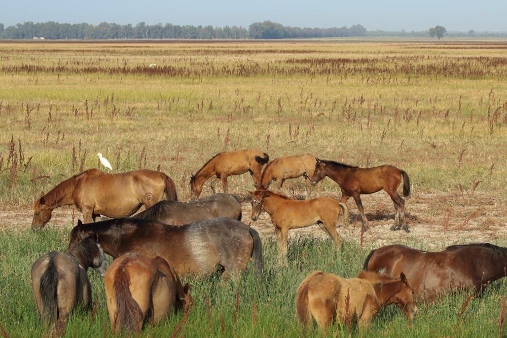 Group of marsh mares