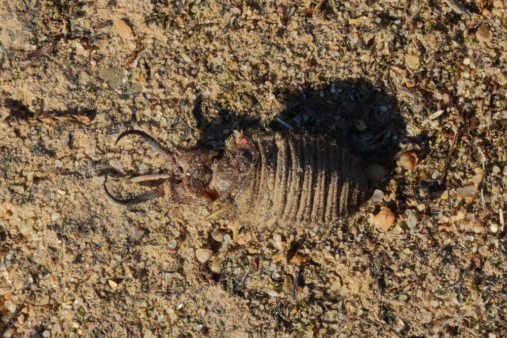 Larva of palpares hispanus