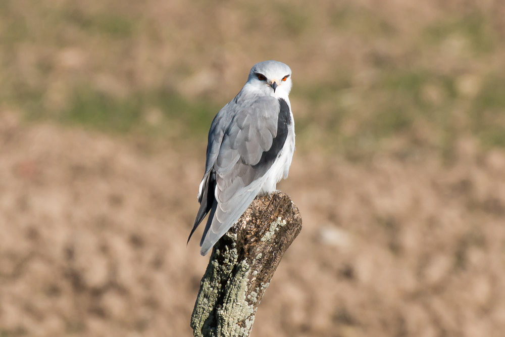 Black-winged kite perched on a post