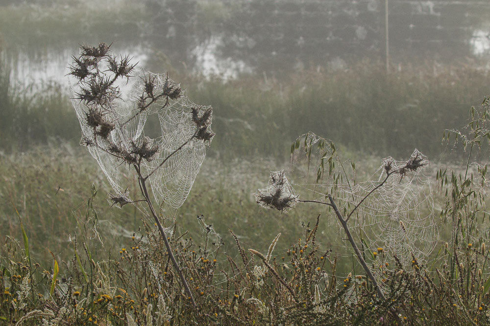 Spiderwebs on thistles