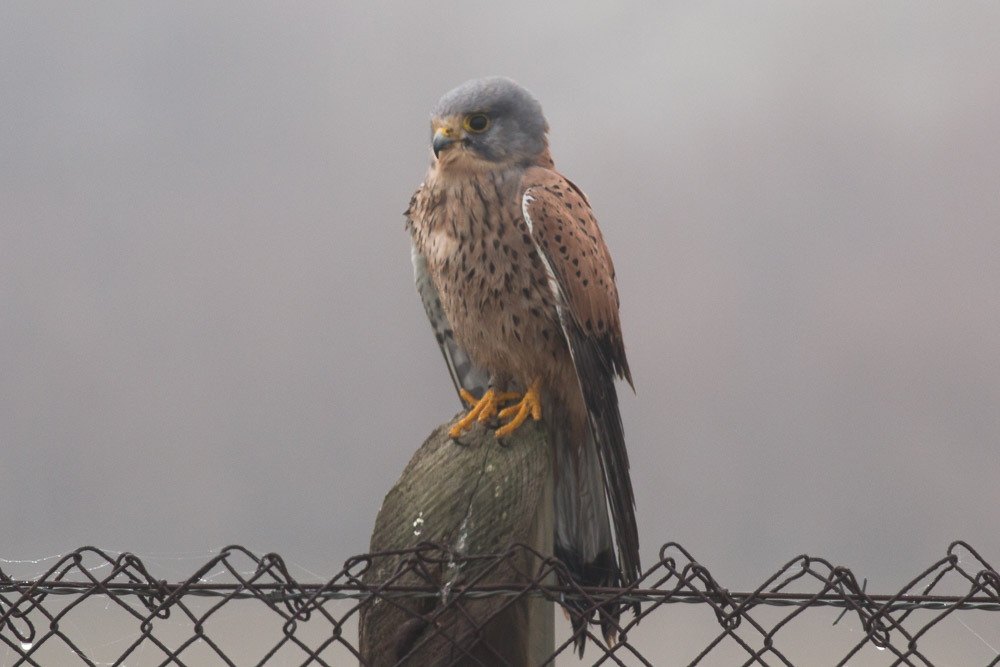 Male common kestrel perched on a fence