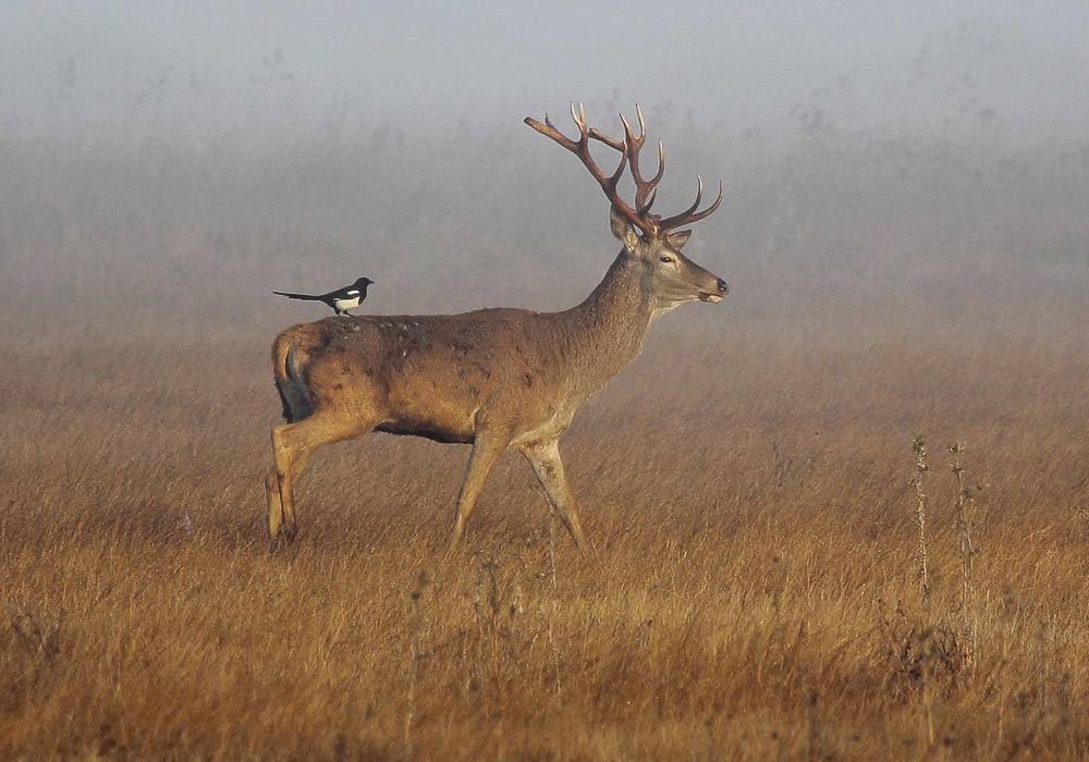 Magpie ridding a deer in the mist