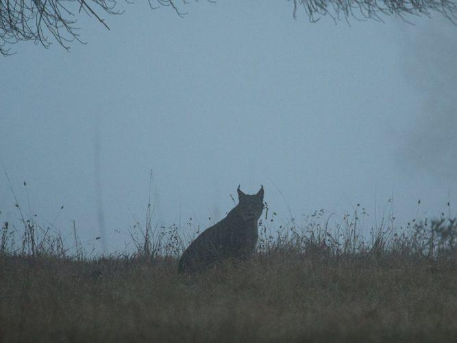 Lynx in the mist